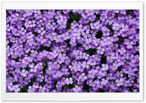 Aubrieta Flowers HD Wide Wallpaper for Widescreen
