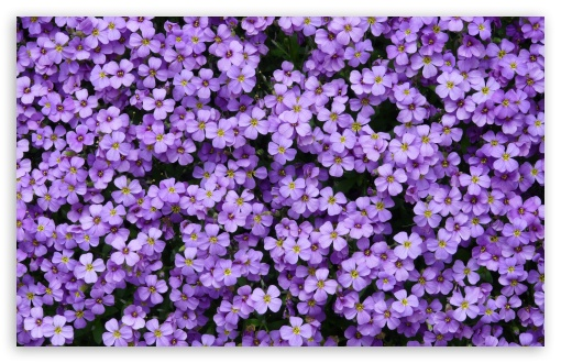 Aubrieta Flowers ❤ 4K UHD Wallpaper for Wide 16:10 5:3 Widescreen WHXGA WQXGA WUXGA WXGA WGA ; 4K UHD 16:9 Ultra High Definition 2160p 1440p 1080p 900p 720p ; Standard 4:3 5:4 3:2 Fullscreen UXGA XGA SVGA QSXGA SXGA DVGA HVGA HQVGA ( Apple PowerBook G4 iPhone 4 3G 3GS iPod Touch ) ; Smartphone 5:3 WGA ; Tablet 1:1 ; iPad 1/2/Mini ; Mobile 4:3 5:3 3:2 16:9 5:4 - UXGA XGA SVGA WGA DVGA HVGA HQVGA ( Apple PowerBook G4 iPhone 4 3G 3GS iPod Touch ) 2160p 1440p 1080p 900p 720p QSXGA SXGA ; Dual 16:10 5:3 16:9 4:3 5:4 WHXGA WQXGA WUXGA WXGA WGA 2160p 1440p 1080p 900p 720p UXGA XGA SVGA QSXGA SXGA ;