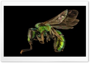 Augochlora Pura Sweat Bee Macro HD Wide Wallpaper for 4K UHD Widescreen desktop & smartphone