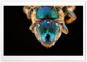 Augochloropsis Anonyma Blue Bee Macro Photography HD Wide Wallpaper for Widescreen