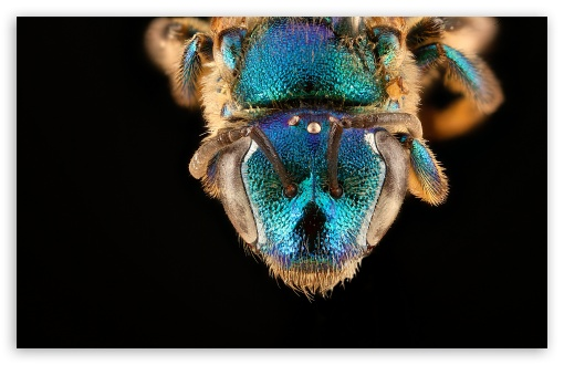 Augochloropsis Anonyma Blue Bee Macro Photography ❤ 4K UHD Wallpaper for Wide 16:10 5:3 Widescreen WHXGA WQXGA WUXGA WXGA WGA ; 4K UHD 16:9 Ultra High Definition 2160p 1440p 1080p 900p 720p ; UHD 16:9 2160p 1440p 1080p 900p 720p ; Standard 4:3 5:4 3:2 Fullscreen UXGA XGA SVGA QSXGA SXGA DVGA HVGA HQVGA ( Apple PowerBook G4 iPhone 4 3G 3GS iPod Touch ) ; Smartphone 5:3 WGA ; Tablet 1:1 ; iPad 1/2/Mini ; Mobile 4:3 5:3 3:2 16:9 5:4 - UXGA XGA SVGA WGA DVGA HVGA HQVGA ( Apple PowerBook G4 iPhone 4 3G 3GS iPod Touch ) 2160p 1440p 1080p 900p 720p QSXGA SXGA ;