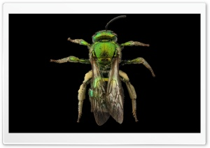 Augochloropsis Metallica Green Bee Macro Photography HD Wide Wallpaper for Widescreen