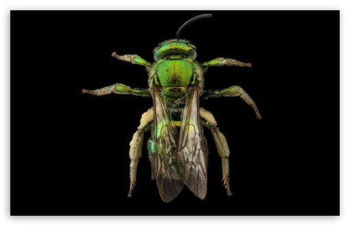 Augochloropsis Metallica Green Bee Macro Photography ❤ 4K UHD Wallpaper for Wide 16:10 5:3 Widescreen WHXGA WQXGA WUXGA WXGA WGA ; 4K UHD 16:9 Ultra High Definition 2160p 1440p 1080p 900p 720p ; UHD 16:9 2160p 1440p 1080p 900p 720p ; Standard 4:3 5:4 3:2 Fullscreen UXGA XGA SVGA QSXGA SXGA DVGA HVGA HQVGA ( Apple PowerBook G4 iPhone 4 3G 3GS iPod Touch ) ; Smartphone 5:3 WGA ; Tablet 1:1 ; iPad 1/2/Mini ; Mobile 4:3 5:3 3:2 16:9 5:4 - UXGA XGA SVGA WGA DVGA HVGA HQVGA ( Apple PowerBook G4 iPhone 4 3G 3GS iPod Touch ) 2160p 1440p 1080p 900p 720p QSXGA SXGA ;