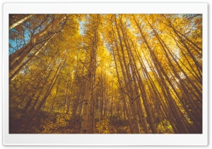 Autumn Aspen Forest Trees Ultra HD Wallpaper for 4K UHD Widescreen desktop, tablet & smartphone