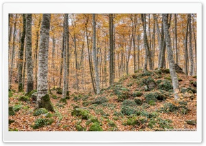 Autumn Between Trees Fageda d en Jorda, Catalonia Ultra HD Wallpaper for 4K UHD Widescreen desktop, tablet & smartphone