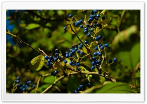 Autumn Colours   Berries HD Wide Wallpaper for Widescreen