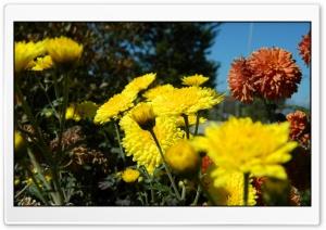 Autumn Flowers HD Wide Wallpaper for Widescreen