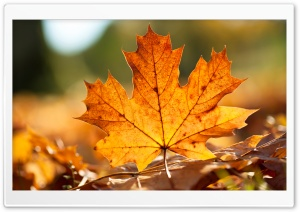 Autumn Leaf HD Wide Wallpaper for Widescreen