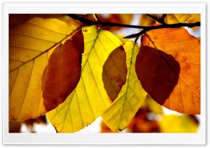 Autumn Leaves Close Up HD Wide Wallpaper for Widescreen