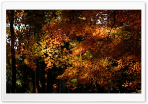 Autumn Maple Forest HD Wide Wallpaper for Widescreen