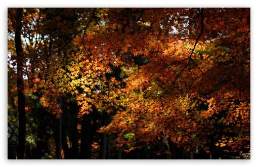 Autumn Maple Forest HD wallpaper for Wide 16:10 5:3 Widescreen WHXGA WQXGA WUXGA WXGA WGA ; HD 16:9 High Definition WQHD QWXGA 1080p 900p 720p QHD nHD ; UHD 16:9 WQHD QWXGA 1080p 900p 720p QHD nHD ; Standard 4:3 5:4 3:2 Fullscreen UXGA XGA SVGA QSXGA SXGA DVGA HVGA HQVGA devices ( Apple PowerBook G4 iPhone 4 3G 3GS iPod Touch ) ; Tablet 1:1 ; iPad 1/2/Mini ; Mobile 4:3 5:3 3:2 16:9 5:4 - UXGA XGA SVGA WGA DVGA HVGA HQVGA devices ( Apple PowerBook G4 iPhone 4 3G 3GS iPod Touch ) WQHD QWXGA 1080p 900p 720p QHD nHD QSXGA SXGA ; Dual 4:3 5:4 UXGA XGA SVGA QSXGA SXGA ;