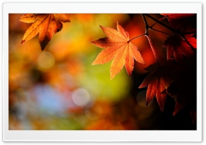 Autumn Maple Leaves HD Wide Wallpaper for 4K UHD Widescreen desktop & smartphone