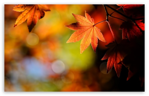 Autumn Maple Leaves HD wallpaper for Wide 16:10 5:3 Widescreen WHXGA WQXGA WUXGA WXGA WGA ; HD 16:9 High Definition WQHD QWXGA 1080p 900p 720p QHD nHD ; Standard 4:3 5:4 3:2 Fullscreen UXGA XGA SVGA QSXGA SXGA DVGA HVGA HQVGA devices ( Apple PowerBook G4 iPhone 4 3G 3GS iPod Touch ) ; Tablet 1:1 ; iPad 1/2/Mini ; Mobile 4:3 5:3 3:2 16:9 5:4 - UXGA XGA SVGA WGA DVGA HVGA HQVGA devices ( Apple PowerBook G4 iPhone 4 3G 3GS iPod Touch ) WQHD QWXGA 1080p 900p 720p QHD nHD QSXGA SXGA ;