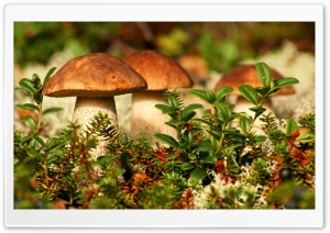 Autumn Mushrooms HD Wide Wallpaper for Widescreen