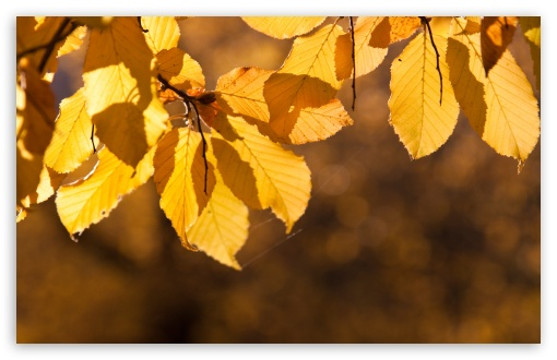 Autumn Yellow Leaves HD wallpaper for Wide 16:10 5:3 Widescreen WHXGA WQXGA WUXGA WXGA WGA ; HD 16:9 High Definition WQHD QWXGA 1080p 900p 720p QHD nHD ; Standard 4:3 5:4 3:2 Fullscreen UXGA XGA SVGA QSXGA SXGA DVGA HVGA HQVGA devices ( Apple PowerBook G4 iPhone 4 3G 3GS iPod Touch ) ; Tablet 1:1 ; iPad 1/2/Mini ; Mobile 4:3 5:3 3:2 16:9 5:4 - UXGA XGA SVGA WGA DVGA HVGA HQVGA devices ( Apple PowerBook G4 iPhone 4 3G 3GS iPod Touch ) WQHD QWXGA 1080p 900p 720p QHD nHD QSXGA SXGA ; Dual 5:4 QSXGA SXGA ;