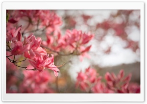 Azaleas bloom in Spring HD Wide Wallpaper for Widescreen