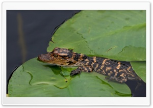 Baby Alligator HD Wide Wallpaper for Widescreen