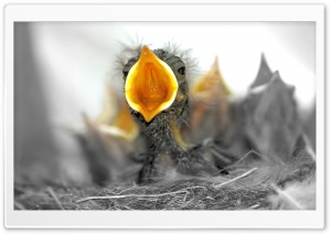 Baby Birds Are Hungry HD Wide Wallpaper for Widescreen