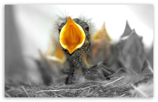 Baby Birds Are Hungry HD wallpaper for Wide 16:10 5:3 Widescreen WHXGA WQXGA WUXGA WXGA WGA ; HD 16:9 High Definition WQHD QWXGA 1080p 900p 720p QHD nHD ; Standard 4:3 5:4 3:2 Fullscreen UXGA XGA SVGA QSXGA SXGA DVGA HVGA HQVGA devices ( Apple PowerBook G4 iPhone 4 3G 3GS iPod Touch ) ; Tablet 1:1 ; iPad 1/2/Mini ; Mobile 4:3 5:3 3:2 16:9 5:4 - UXGA XGA SVGA WGA DVGA HVGA HQVGA devices ( Apple PowerBook G4 iPhone 4 3G 3GS iPod Touch ) WQHD QWXGA 1080p 900p 720p QHD nHD QSXGA SXGA ;