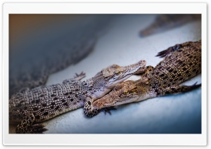 Baby Crocodiles HD Wide Wallpaper for Widescreen