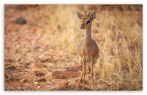 Baby Deer HD wallpaper for Standard 4:3 5:4 Fullscreen UXGA XGA SVGA QSXGA SXGA ; Wide 16:10 5:3 Widescreen WHXGA WQXGA WUXGA WXGA WGA ; HD 16:9 High Definition WQHD QWXGA 1080p 900p 720p QHD nHD ; Other 3:2 DVGA HVGA HQVGA devices ( Apple PowerBook G4 iPhone 4 3G 3GS iPod Touch ) ; Mobile VGA WVGA iPhone iPad Phone - VGA QVGA Smartphone ( PocketPC GPS iPod Zune BlackBerry HTC Samsung LG Nokia Eten Asus ) WVGA WQVGA Smartphone ( HTC Samsung Sony Ericsson LG Vertu MIO ) HVGA Smartphone ( Apple iPhone iPod BlackBerry HTC Samsung Nokia ) ; Tablet 2 Android ;