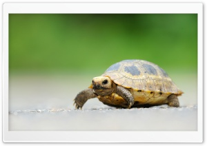 Baby Elongated Tortoise HD Wide Wallpaper for Widescreen