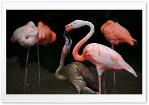 Baby Flamingo HD Wide Wallpaper for Widescreen