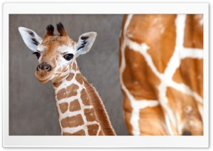 Baby Giraffe HD Wide Wallpaper for Widescreen