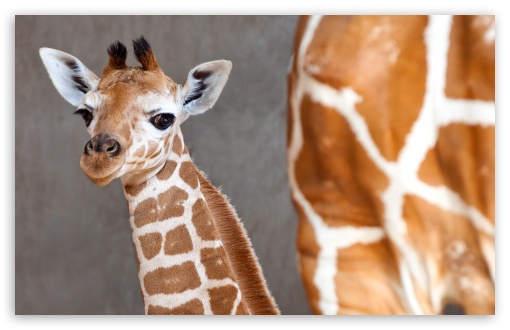 Baby Giraffe HD wallpaper for Wide 16:10 5:3 Widescreen WHXGA WQXGA WUXGA WXGA WGA ; HD 16:9 High Definition WQHD QWXGA 1080p 900p 720p QHD nHD ; Standard 4:3 5:4 3:2 Fullscreen UXGA XGA SVGA QSXGA SXGA DVGA HVGA HQVGA devices ( Apple PowerBook G4 iPhone 4 3G 3GS iPod Touch ) ; Tablet 1:1 ; iPad 1/2/Mini ; Mobile 4:3 5:3 3:2 16:9 5:4 - UXGA XGA SVGA WGA DVGA HVGA HQVGA devices ( Apple PowerBook G4 iPhone 4 3G 3GS iPod Touch ) WQHD QWXGA 1080p 900p 720p QHD nHD QSXGA SXGA ;