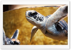 Baby Green Sea Turtle HD Wide Wallpaper for Widescreen