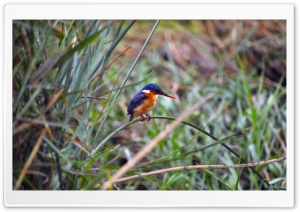 Baby Kingfisher HD Wide Wallpaper for Widescreen