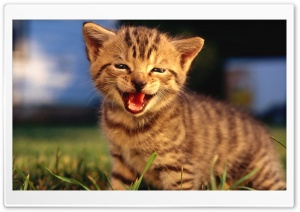 Baby Kitten Crying HD Wide Wallpaper for 4K UHD Widescreen desktop & smartphone