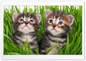 Baby Kittens Ultra HD Wallpaper for 4K UHD Widescreen desktop, tablet & smartphone