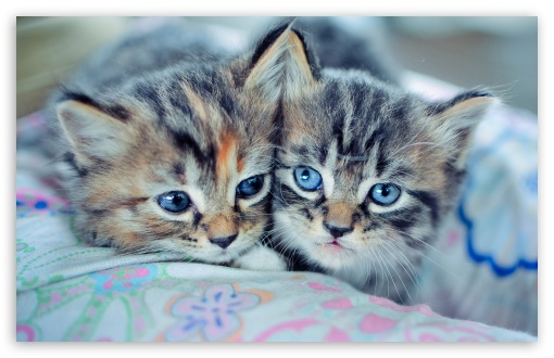 Baby Kittens With Blue Eyes HD wallpaper for Wide 16:10 5:3 Widescreen WHXGA WQXGA WUXGA WXGA WGA ; HD 16:9 High Definition WQHD QWXGA 1080p 900p 720p QHD nHD ; Standard 4:3 3:2 Fullscreen UXGA XGA SVGA DVGA HVGA HQVGA devices ( Apple PowerBook G4 iPhone 4 3G 3GS iPod Touch ) ; iPad 1/2/Mini ; Mobile 4:3 5:3 3:2 16:9 - UXGA XGA SVGA WGA DVGA HVGA HQVGA devices ( Apple PowerBook G4 iPhone 4 3G 3GS iPod Touch ) WQHD QWXGA 1080p 900p 720p QHD nHD ;
