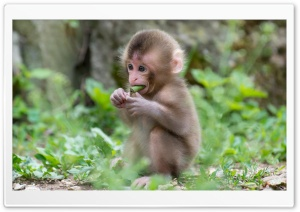 Baby Macaque Monkey HD Wide Wallpaper for Widescreen