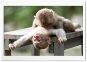 Baby Monkeys Playing HD Wide Wallpaper for Widescreen