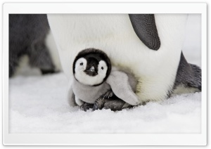 Baby Penguin HD Wide Wallpaper for Widescreen