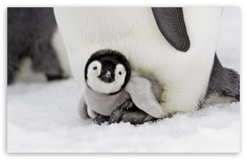 Baby Penguin UltraHD Wallpaper for Wide 16:10 5:3 Widescreen WHXGA WQXGA WUXGA WXGA WGA ; 8K UHD TV 16:9 Ultra High Definition 2160p 1440p 1080p 900p 720p ; Standard 4:3 5:4 3:2 Fullscreen UXGA XGA SVGA QSXGA SXGA DVGA HVGA HQVGA ( Apple PowerBook G4 iPhone 4 3G 3GS iPod Touch ) ; Tablet 1:1 ; iPad 1/2/Mini ; Mobile 4:3 5:3 3:2 16:9 5:4 - UXGA XGA SVGA WGA DVGA HVGA HQVGA ( Apple PowerBook G4 iPhone 4 3G 3GS iPod Touch ) 2160p 1440p 1080p 900p 720p QSXGA SXGA ;