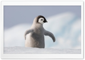 Baby Penguin, Antarctica HD Wide Wallpaper for Widescreen