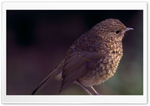 Baby Robin HD Wide Wallpaper for Widescreen
