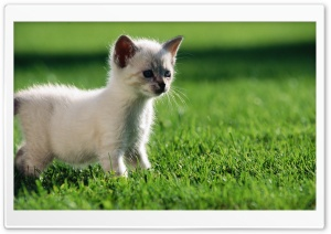 Baby Siamese Kitten HD Wide Wallpaper for 4K UHD Widescreen desktop & smartphone