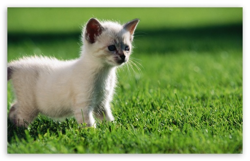 Baby Siamese Kitten HD wallpaper for Wide 16:10 5:3 Widescreen WHXGA WQXGA WUXGA WXGA WGA ; HD 16:9 High Definition WQHD QWXGA 1080p 900p 720p QHD nHD ; Standard 4:3 5:4 3:2 Fullscreen UXGA XGA SVGA QSXGA SXGA DVGA HVGA HQVGA devices ( Apple PowerBook G4 iPhone 4 3G 3GS iPod Touch ) ; Tablet 1:1 ; iPad 1/2/Mini ; Mobile 4:3 5:3 3:2 16:9 5:4 - UXGA XGA SVGA WGA DVGA HVGA HQVGA devices ( Apple PowerBook G4 iPhone 4 3G 3GS iPod Touch ) WQHD QWXGA 1080p 900p 720p QHD nHD QSXGA SXGA ;
