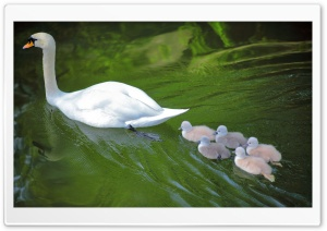 Baby Swans Following Mother Ultra HD Wallpaper for 4K UHD Widescreen desktop, tablet & smartphone