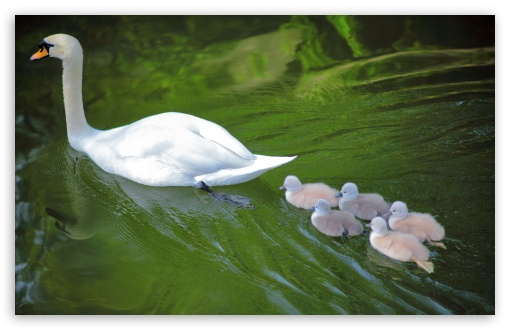 Baby Swans Following Mother ❤ 4K UHD Wallpaper for Wide 16:10 5:3 Widescreen WHXGA WQXGA WUXGA WXGA WGA ; 4K UHD 16:9 Ultra High Definition 2160p 1440p 1080p 900p 720p ; UHD 16:9 2160p 1440p 1080p 900p 720p ; Standard 4:3 5:4 3:2 Fullscreen UXGA XGA SVGA QSXGA SXGA DVGA HVGA HQVGA ( Apple PowerBook G4 iPhone 4 3G 3GS iPod Touch ) ; iPad 1/2/Mini ; Mobile 4:3 5:3 3:2 16:9 5:4 - UXGA XGA SVGA WGA DVGA HVGA HQVGA ( Apple PowerBook G4 iPhone 4 3G 3GS iPod Touch ) 2160p 1440p 1080p 900p 720p QSXGA SXGA ;