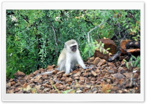 Baby Vervet Monkey HD Wide Wallpaper for Widescreen
