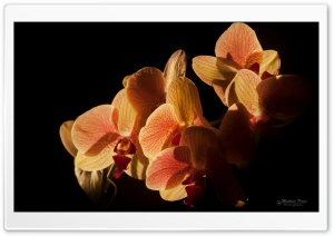 Backlit Orchids HD Wide Wallpaper for Widescreen