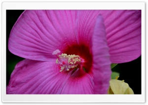 Backyard Hibiscus HD Wide Wallpaper for Widescreen