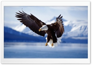 Bald Eagle HD Wide Wallpaper for 4K UHD Widescreen desktop & smartphone