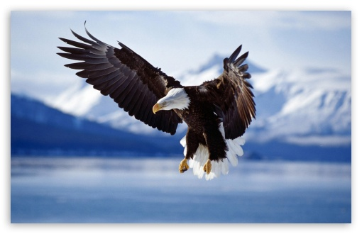 Bald Eagle HD wallpaper for Wide 16:10 5:3 Widescreen WHXGA WQXGA WUXGA WXGA WGA ; HD 16:9 High Definition WQHD QWXGA 1080p 900p 720p QHD nHD ; Standard 4:3 5:4 Fullscreen UXGA XGA SVGA QSXGA SXGA ; MS 3:2 DVGA HVGA HQVGA devices ( Apple PowerBook G4 iPhone 4 3G 3GS iPod Touch ) ; Mobile VGA WVGA iPhone iPad PSP Phone - VGA QVGA Smartphone ( PocketPC GPS iPod Zune BlackBerry HTC Samsung LG Nokia Eten Asus ) WVGA WQVGA Smartphone ( HTC Samsung Sony Ericsson LG Vertu MIO ) HVGA Smartphone ( Apple iPhone iPod BlackBerry HTC Samsung Nokia ) Sony PSP Zune HD Zen ;