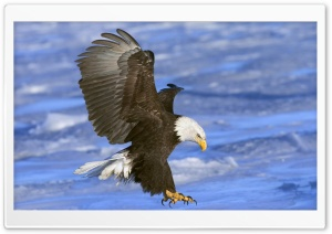 Bald Eagle In Flight Alaska HD Wide Wallpaper for 4K UHD Widescreen desktop & smartphone